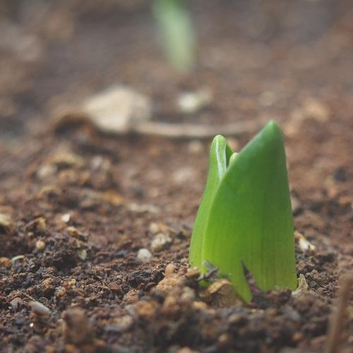 チューリップ,チューリップ球根,ベランダガーデニング,コーヒーかすの肥料